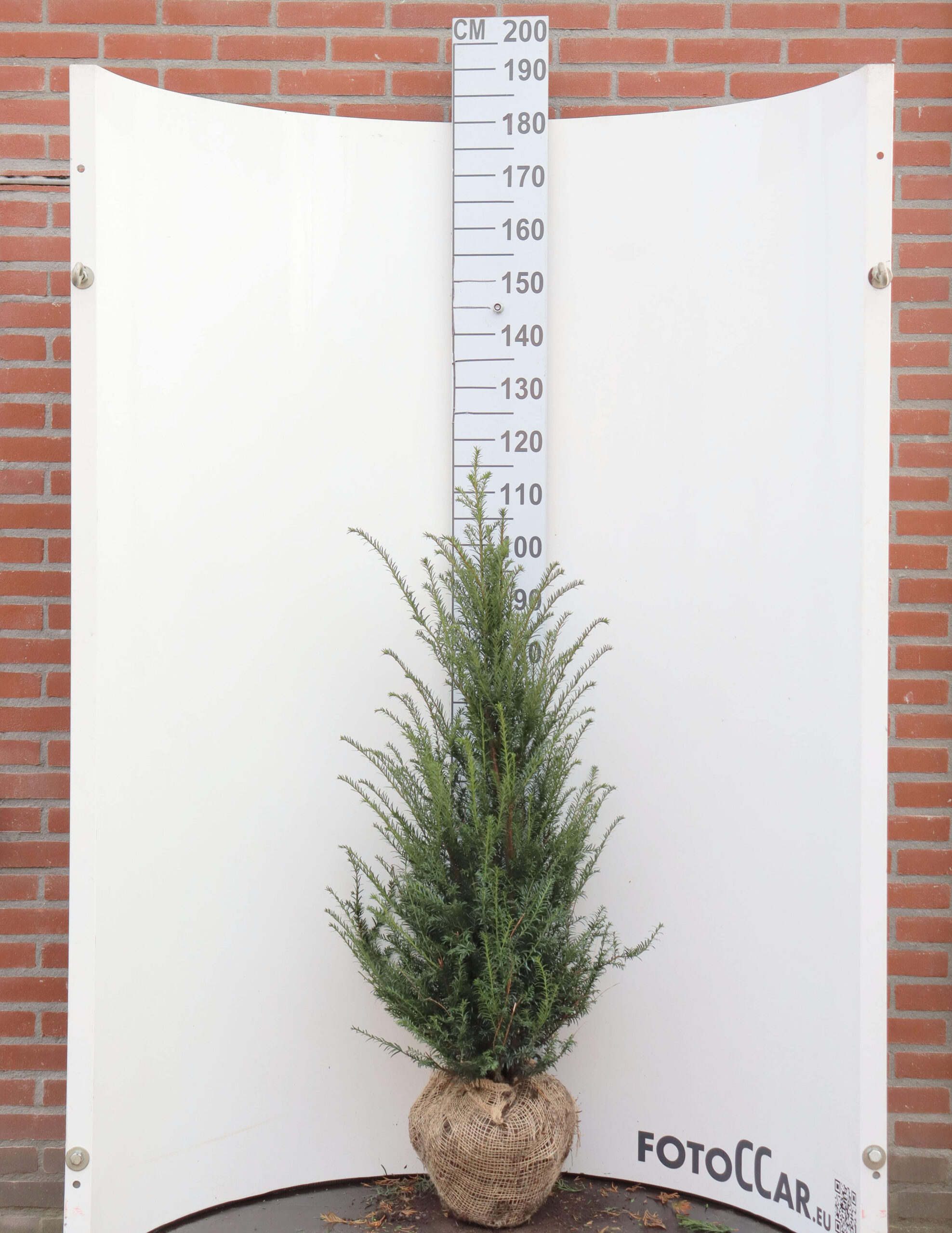 Taxus Baccata 100-120