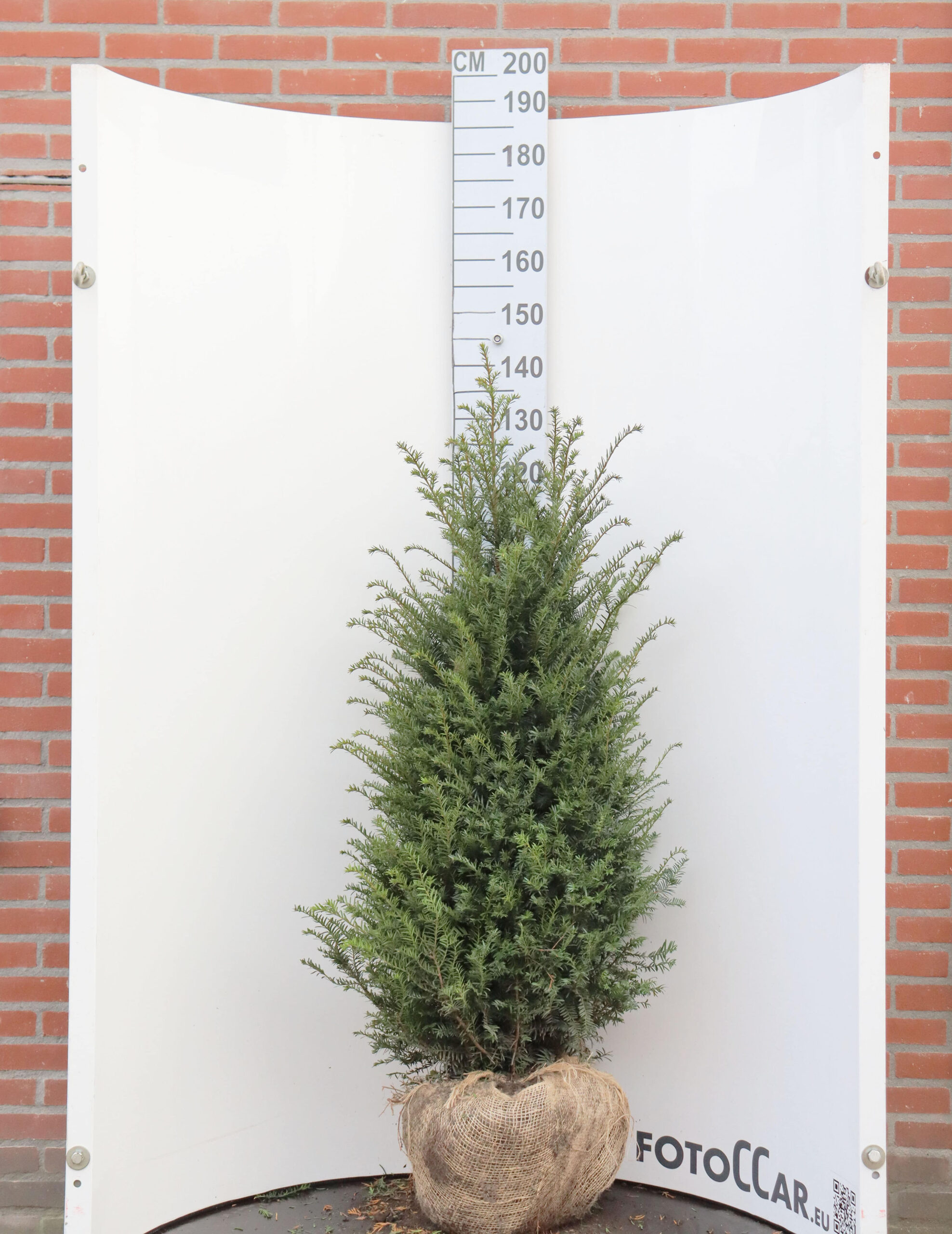 Taxus Baccata 120-140