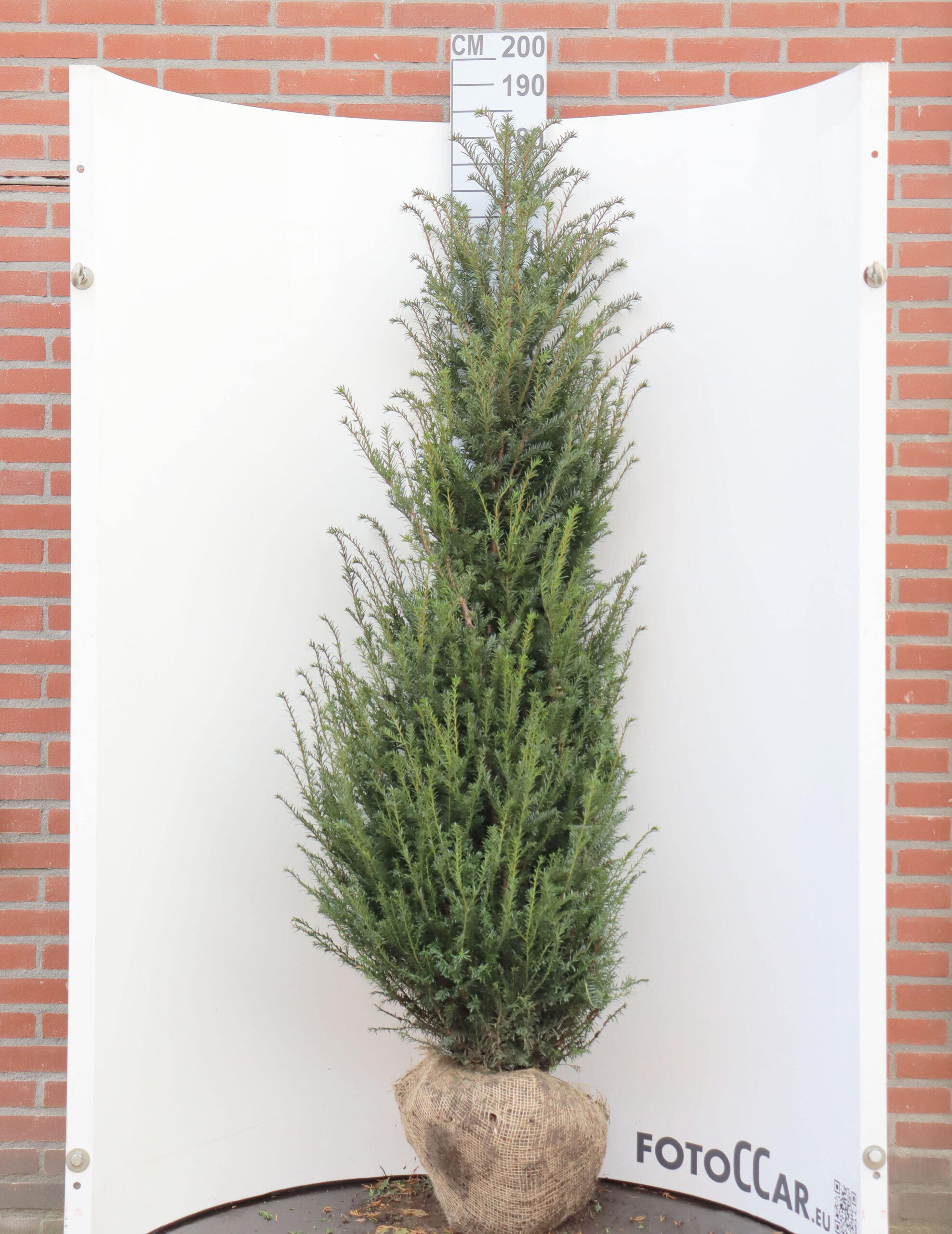 Taxus Baccata 160–180