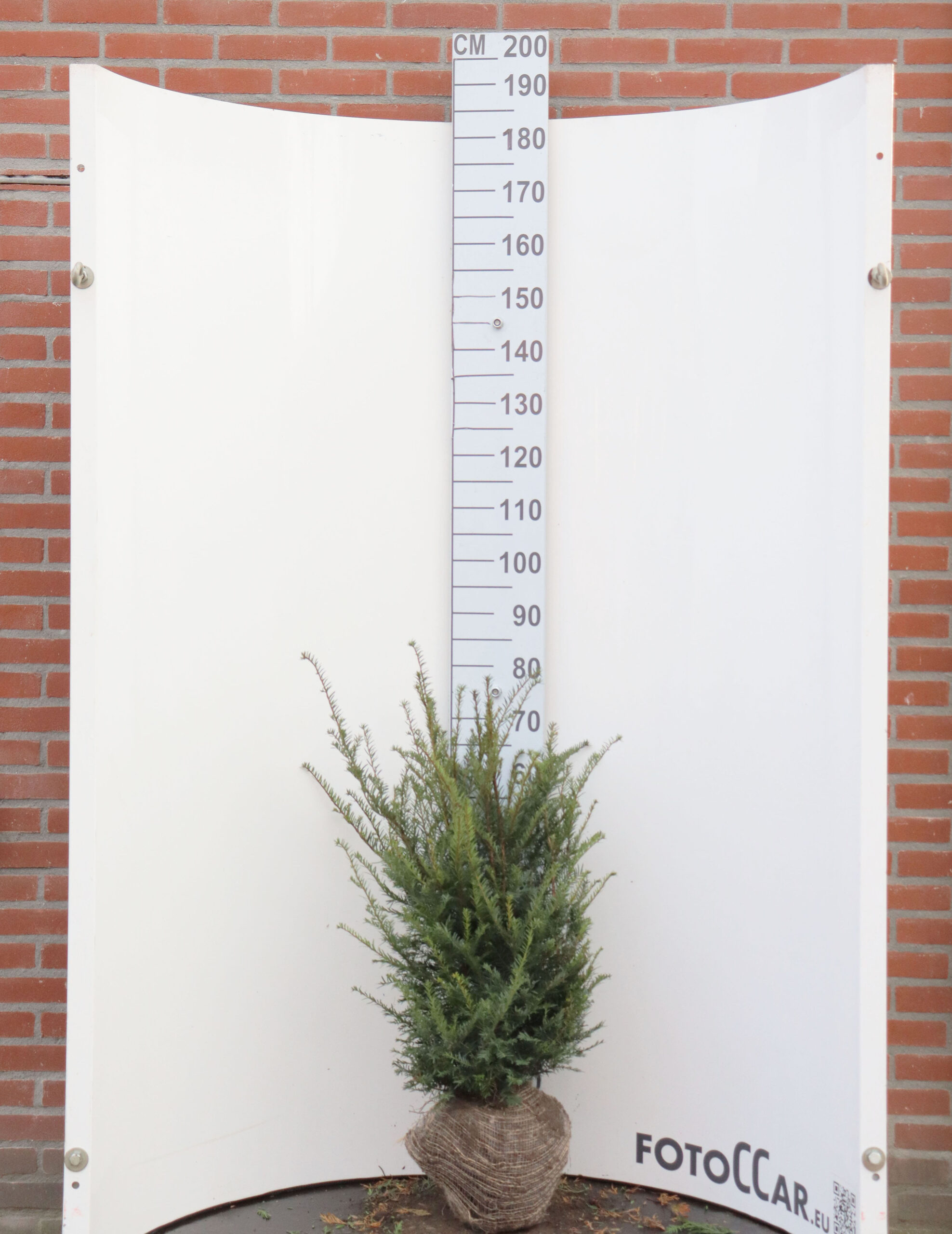 Taxus Baccata 60–80