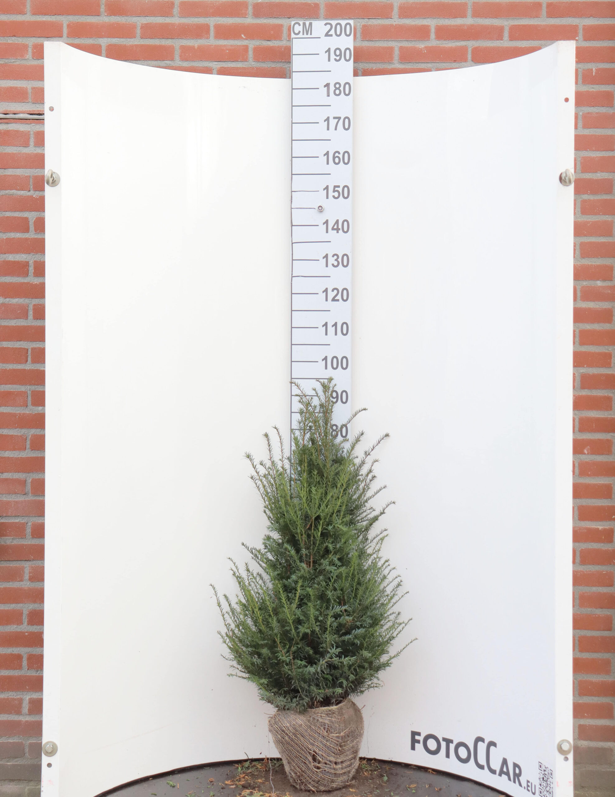 Taxus Baccata 80–100