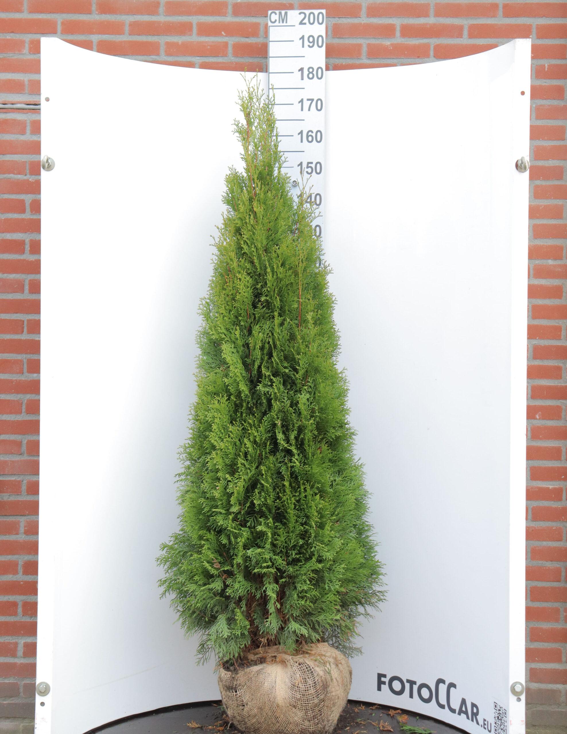 Thuja Smaragd 160-180